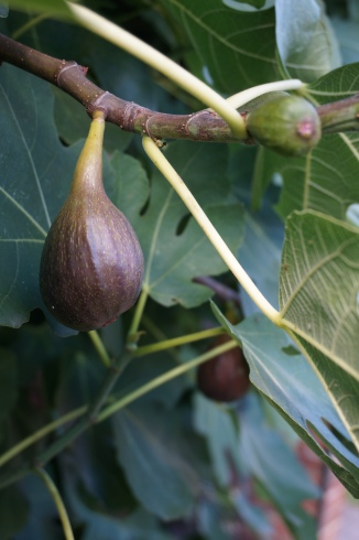 Figs warming in the sun