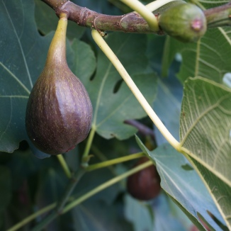 Figs warming in the sun