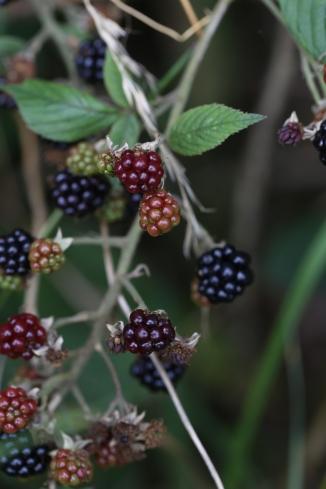 Hedgerown Blackberries