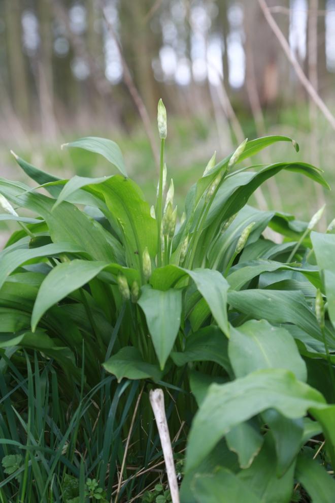wild garlic with flower buds in wood