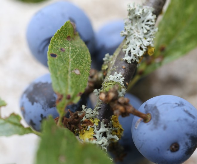 Blackthorn Branch with sloes and mosses