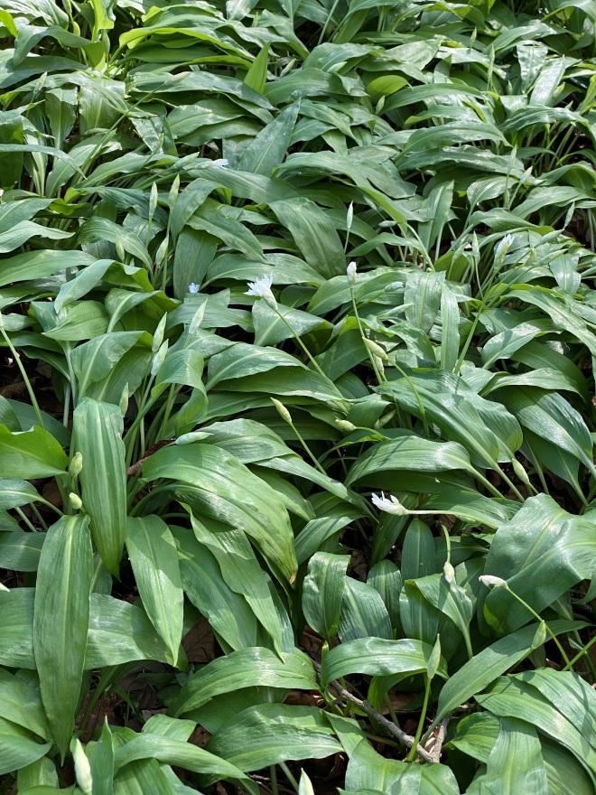 patch of wild garlic